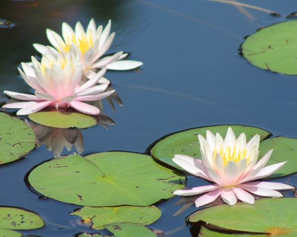 Blooming water lilies enhance your wedding at Gillette Castle.